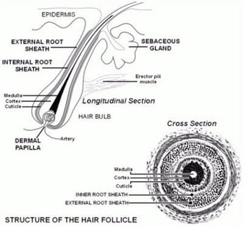 lapisan rambut